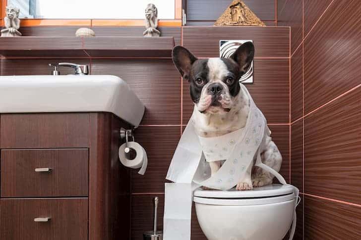 french-bulldog-sitting-on-toilet-home