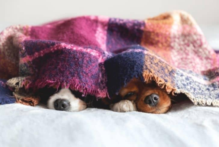 dogs-sleeping-in-blanket