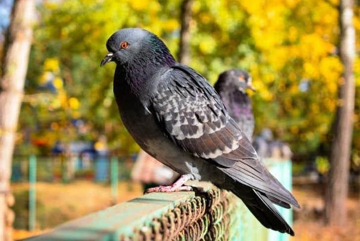 pigeon-on-fence