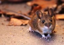 Can You Flush a Mouse Down the Toilet? (And Can They Come Up?)