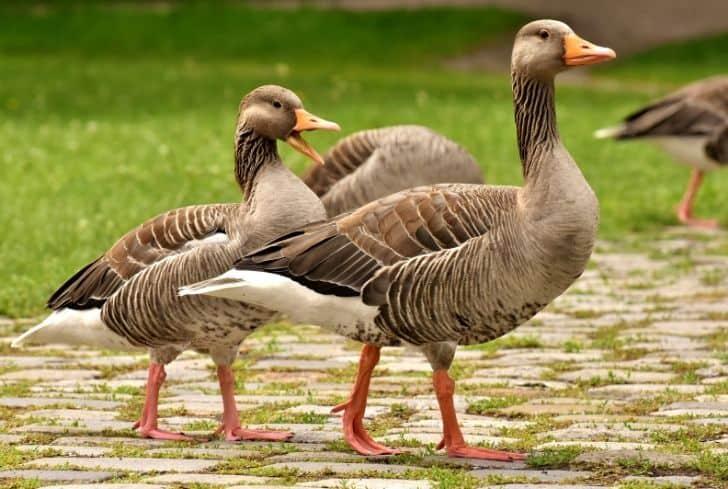 geese-in-yard